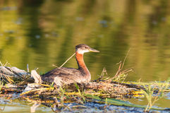 Nesting Red-necked Grebe (Podiceps grisegena). Royalty Free Stock Photography