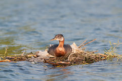 Nesting Red-necked Grebe (Podiceps grisegena). Royalty Free Stock Images