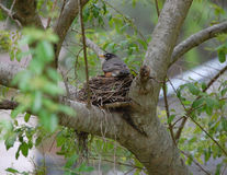 Nesting Red Robin. This bird has nested in this same nest for the past three years. At least I think it's her Stock Image