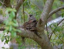 Nesting Red Robin Stock Image
