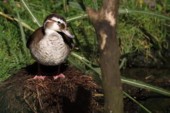Nesting ringed teal Stock Image