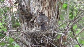 Nesting Robin stock footage
