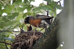 Nesting Robins. Adult robin feeding new hatchlings Stock Photos