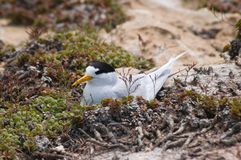 Nesting Roseate Tern Stock Photos