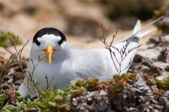Nesting Roseate Tern Royalty Free Stock Photography