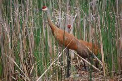 Nesting Sandhill Cranes Royalty Free Stock Photos