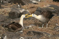 Nesting Sea Birds Royalty Free Stock Photos