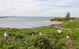 Nesting Sea Gulls: Penguin Island. Nesting Sea Gulls at a Penguin Island with an elevated view of the Indian Ocean seascape, coastal dunes and boardwalk with Stock Image