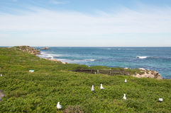 Nesting Sea Gulls. At a Penguin Island with an elevated view of the turquoise Indian Ocean seascape, coastal dunes and limestone rock under an overcast sky in Stock Images
