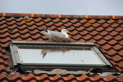 Nesting Seagull Stock Photo