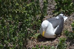 Nesting seagull on ground with green eggs. Stock Photos