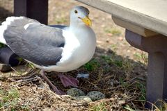 Nesting seagull on ground with green eggs. Stock Photography