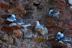 Nesting seagulls Royalty Free Stock Photos