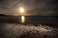 Sea turtle nesting on the beach at night under moonlight. Nesting season in caribbean beaches. Turtles complete a long journey to reproduction stock photo
