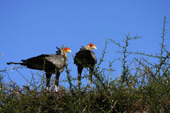 Nesting Secretary Birds Stock Image