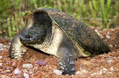 Nesting snapping turtle Royalty Free Stock Photos