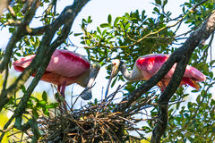Nesting Spoonbills Stock Photography