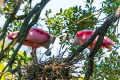 Nesting Spoonbills Stock Photography