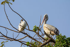 Nesting Spot-billed Pelican Royalty Free Stock Photography