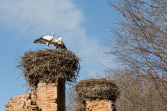 Nesting storks Stock Photography