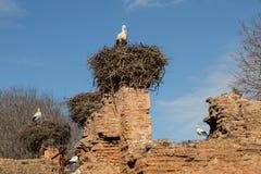 Nesting storks Royalty Free Stock Image