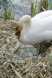 Nesting swan. Swan caring for eggs in nest on edge of water Royalty Free Stock Images