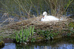Nesting Swan. CROMFORD, DERBYSHIRE, UK. APRIL 19, 2016. A nesting Swan on a small island on the old mill pond at Cromford in Derbyshire, UK Royalty Free Stock Photos
