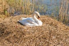 Nesting swan Stock Photo