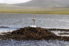 Nesting swan in Mongolia. Swan sitting on a nest on a lake in central Mongolia royalty free stock photography