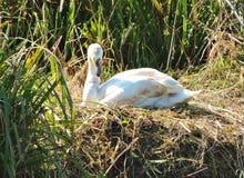 Nesting swan. Stock Photo