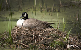 Nesting Time. A Canadian Goose warms and protects her eggs during nesting time Stock Image