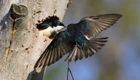 Nesting Tree swallows Royalty Free Stock Photo