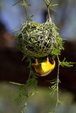 Nesting weaver. A male southern masked weaver building the last bit of its nest Stock Images