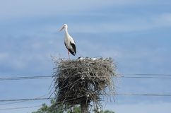 Nesting of the white stork in summertime Royalty Free Stock Photography