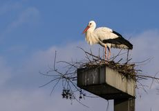 Nesting White Stork Royalty Free Stock Image