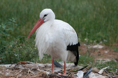 Nesting white stork Stock Photography