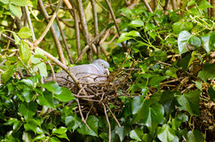 Nesting Wood Pigeon. A wood pigeon, latin name, Columba palumbus, incubating eggs in a nest made in an elder tree covered in ivy Royalty Free Stock Image