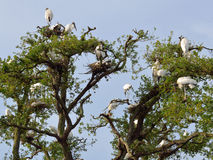 Nesting wood storks Royalty Free Stock Images