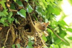 A Nesting wren. Royalty Free Stock Images