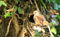 Nesting wren. Royalty Free Stock Photo
