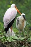 Nesting yellow-billed stork Royalty Free Stock Photos