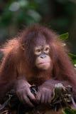 Nestingl Orangutan. A young Orangutan building a nest in Sabah, Malysian Borneo Stock Image