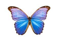 Nestira di morpho della farfalla Fotografia Stock Libera da Diritti
