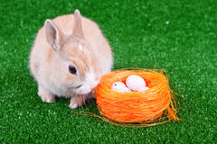 Nestle, eggs and easter bunny. Sweet domestic bunny beside nestle with eggs Stock Image
