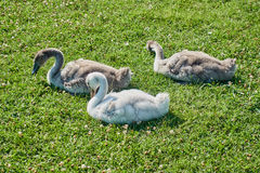 Nestled with ducklings. On the lawn Stock Photography