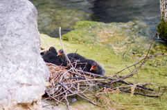 Nestled with small Coots Macrules Stock Image