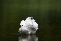 Nestled Swan Royalty Free Stock Photography