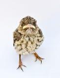 Nestling Stock Photo