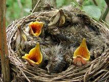 Nestling Stock Images