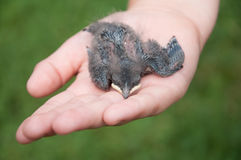 Nestling barn swallows in the hands Stock Image